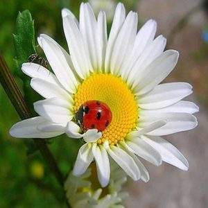 Red Lady Beetle on a white daisy diamond painting canvas